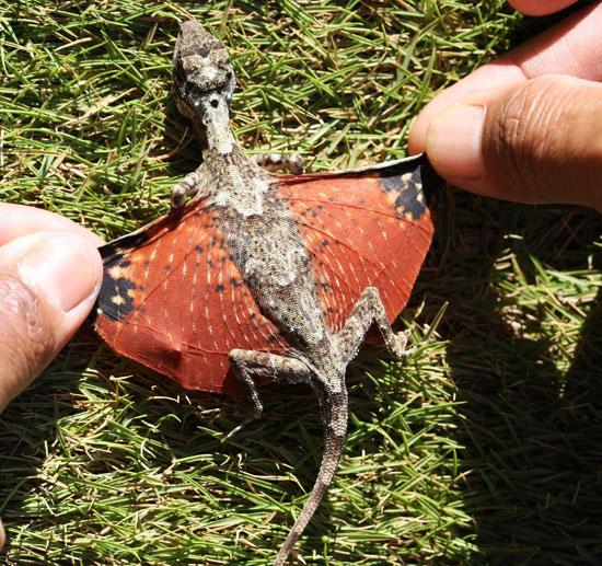 K Dragon Lizard flying-tiny-dra...