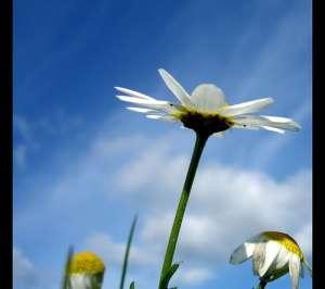daisies in a flield