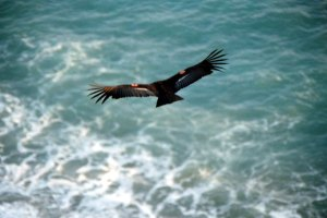 Condor flying over the ocean waves